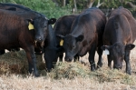black angus beef calves
