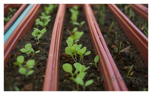 Veggie_Patch_Seedlings