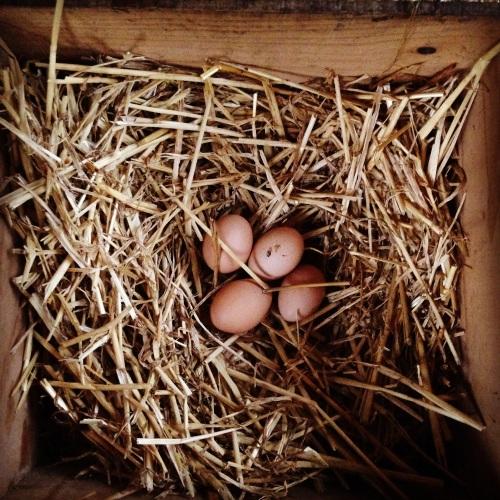 backyard_chickens_organic_eggs