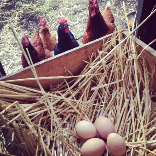 Backyard_chickens_organic_eggs